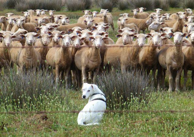 Cane pastore e gregge