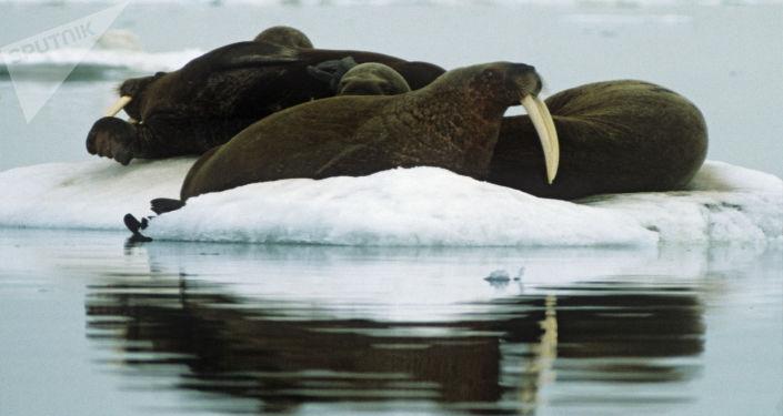 Trichechi all'isola di Herald (parco naturale isola di Wrangel)