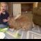 Il coniglio gigante