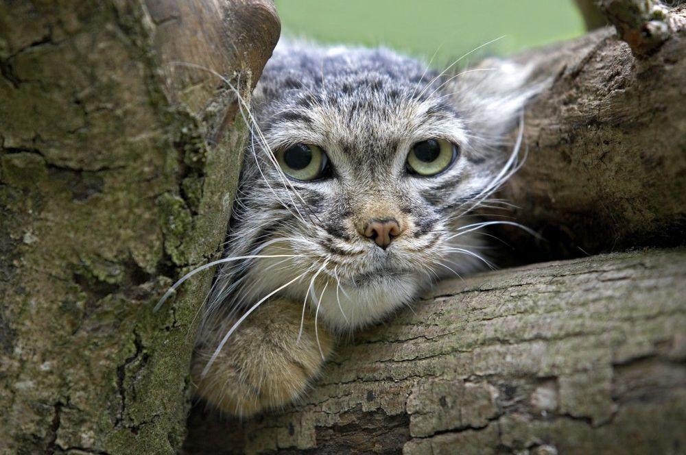 Il gatto delle steppe