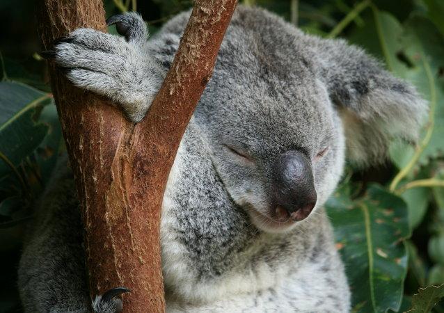 Piccola koala nello Zoo  di Australia
