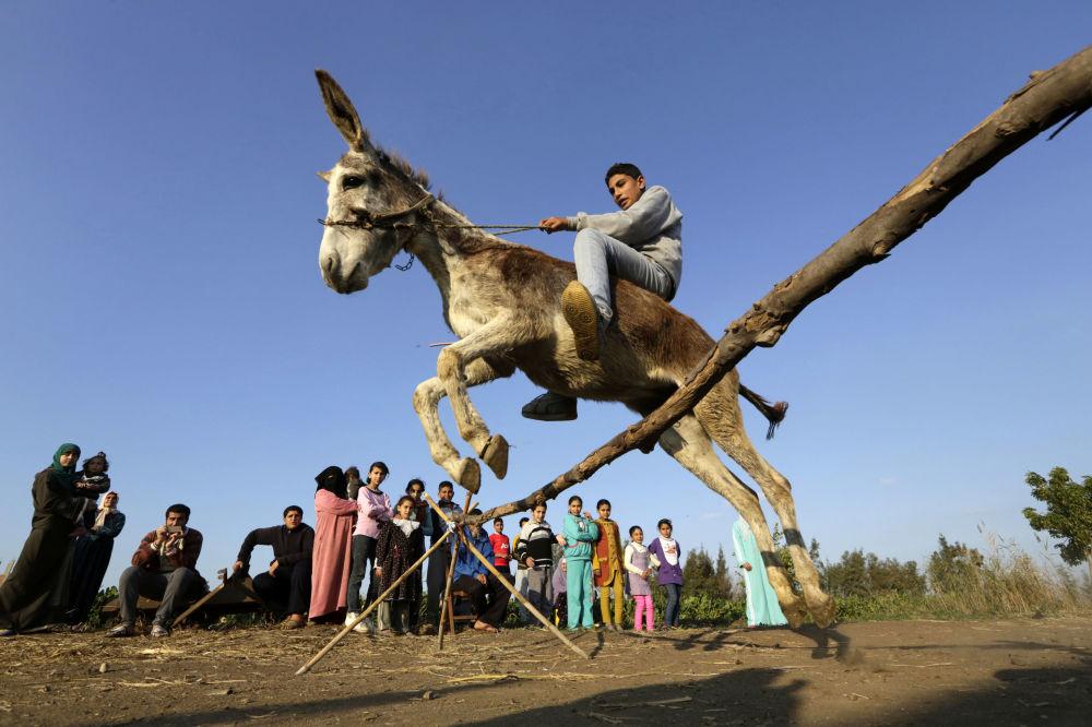 Un agricoltore sull'asino addestrato ad Al-Arid, Egitto.