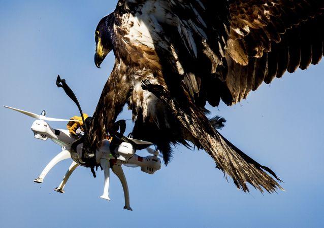 Aquila addestrata dalla polizia olandese per neutralizzare i piccoli droni