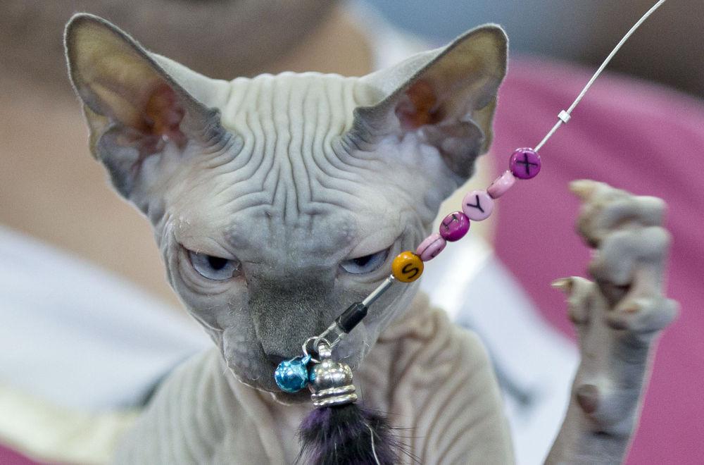Un gatto sfinge gioca con una collana alla Mostra dei felini di Bucarest.