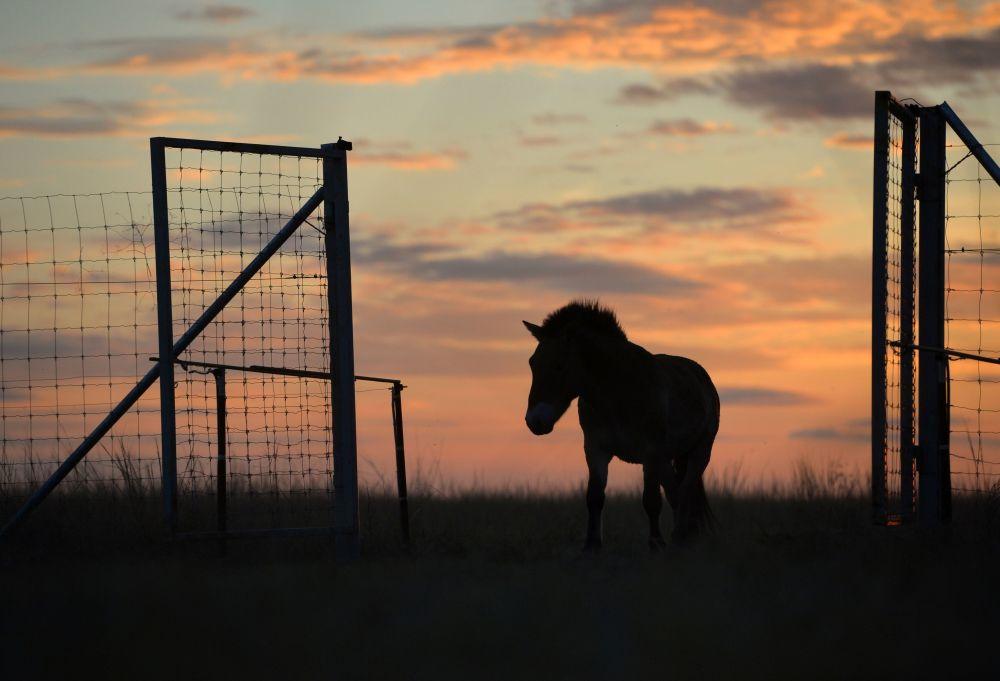 Un cavallo di Przewalski.