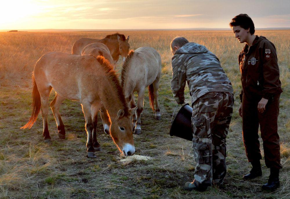 Vladimir Putin aiuta ad alimentare i cavalli.