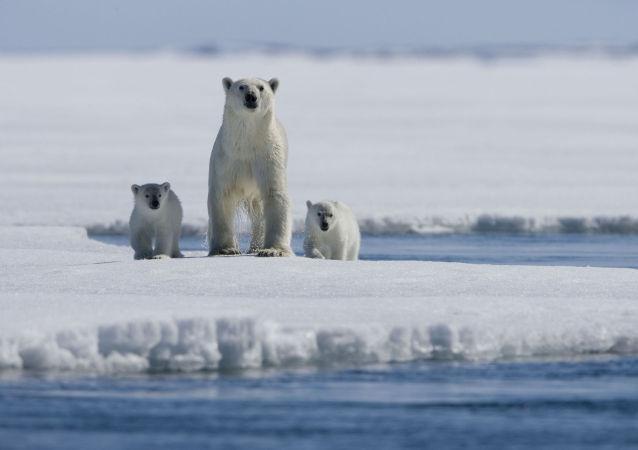 Una famiglia di orsi polari.