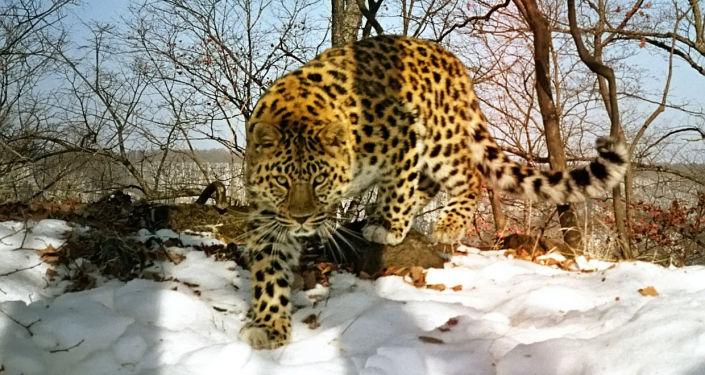 Un leopardo dell'estremo oriente.