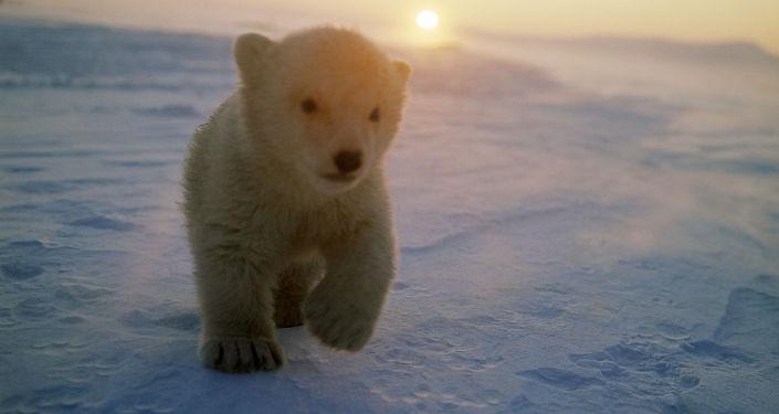 Un orsetto bianco sulla isola di Wrangel in Chukotka