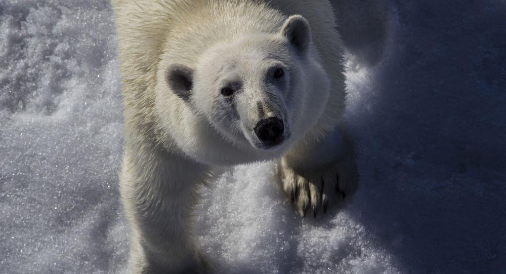 Un orso bianc nell'Oceano glaciale artico tra la Terra di Francesco-Giuseppe e il Polo Nord.
