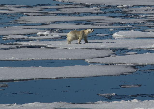 Un orso bianco nell'Artico