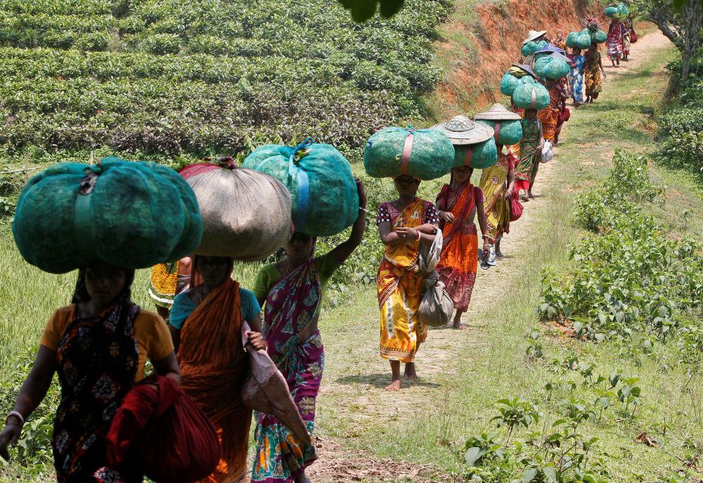 Lavoratori portano sacchi con foglie di tè in India.