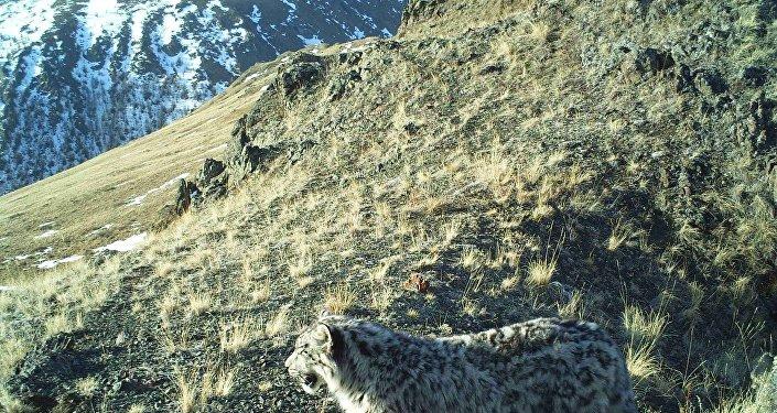 Il leopardo delle nevi