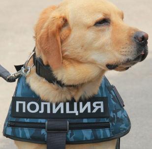99 anni di fiuto vincente, la festa dei cani della Polizia russa