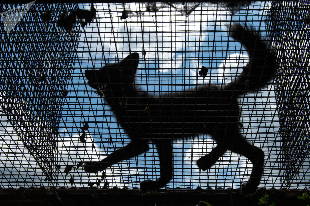 Una volpe nella voliera alla fattoria sperimentale dell'Istituto di citologia e genetica del dipartimento siberiano dell'Accademia delle Scienze della Russia.
