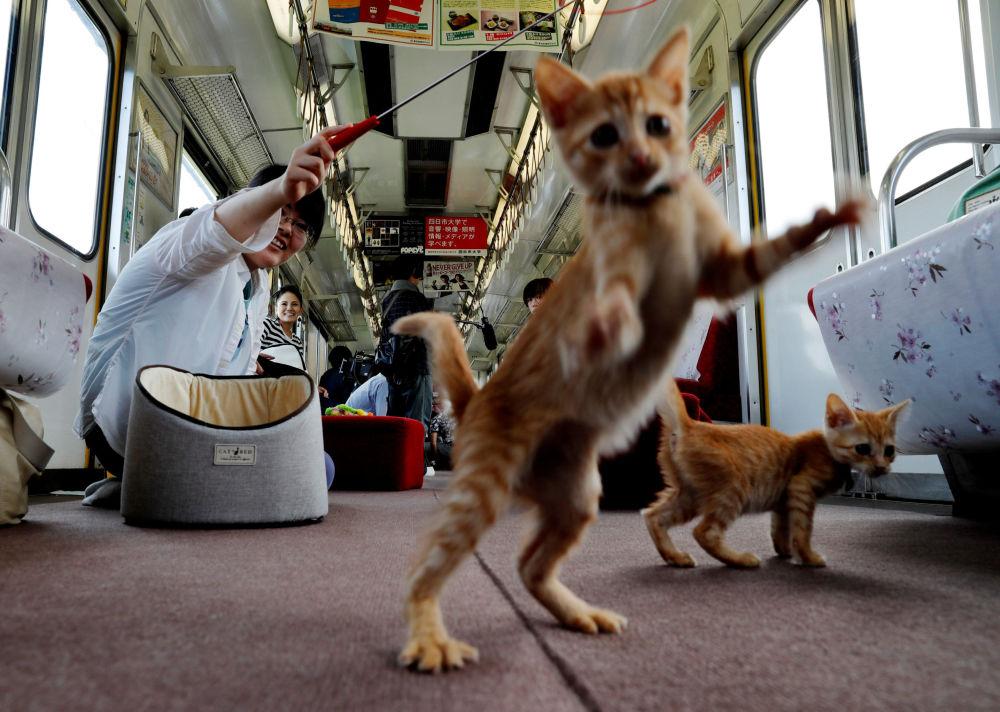 I passeggeri giocano con i gatti in un treno con un vagone con gatti, Giappone.