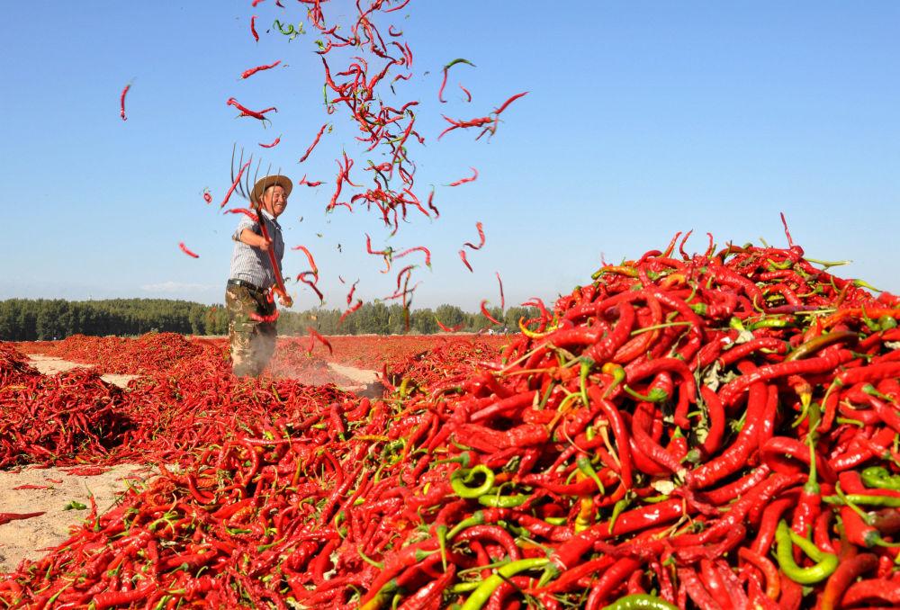 Un uomo fa seccare il pepe rosso nel vilaggio cinese di Zhangye.