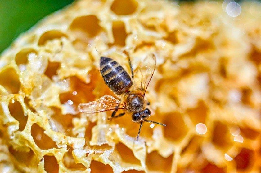 Un'ape bashkira