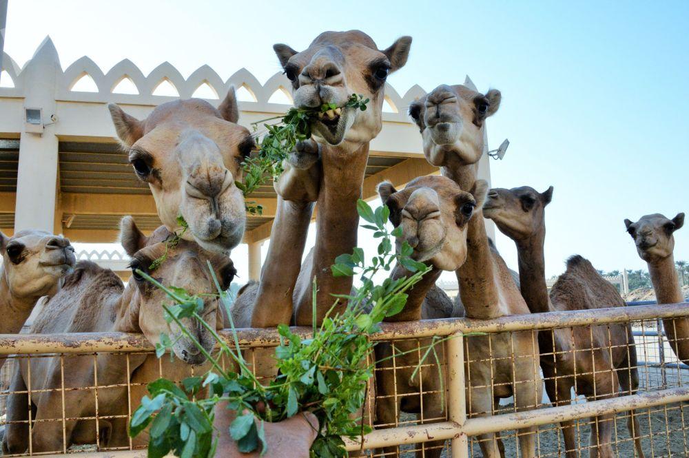 Una fattoria reale di cammelli in Bahrein.