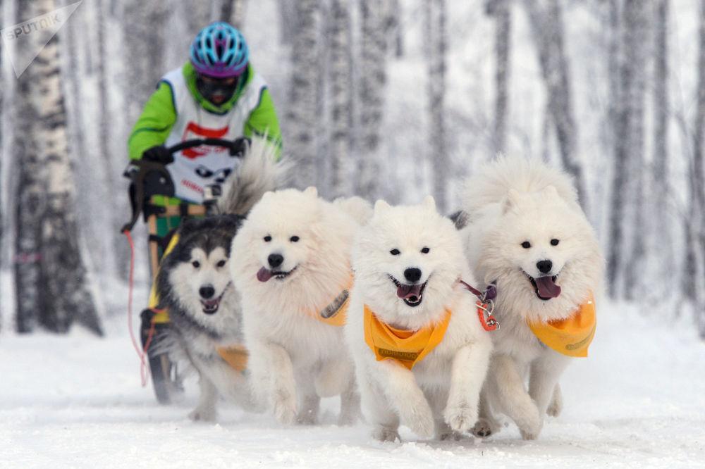 Una corsa con i cani a Novosibirsk, Russia.