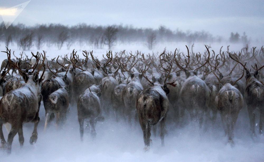 Allevamento di cervi e alci nel Nord russo