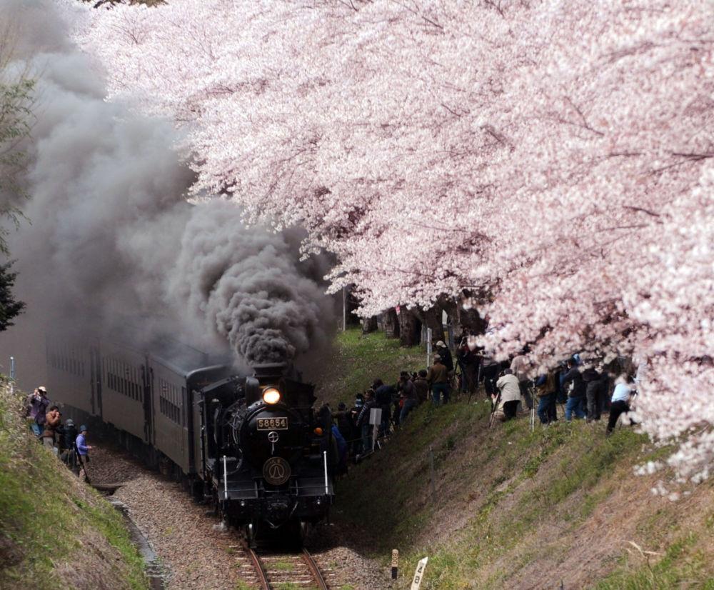 Una locomotiva a vapore passa sotto i fiori di ciliegio a Hitoyoshi, Giappone.