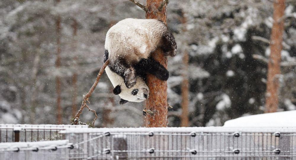 Un panda gioca con la neve
