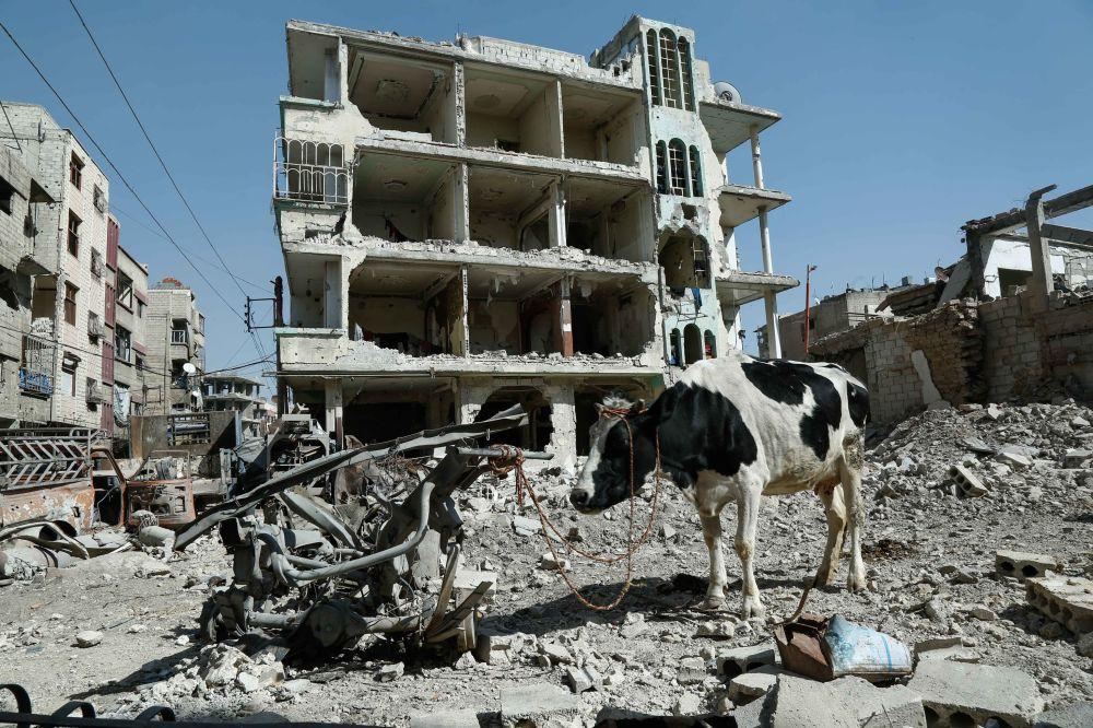 Una mucca abbandonata a Ghouta, Siria.