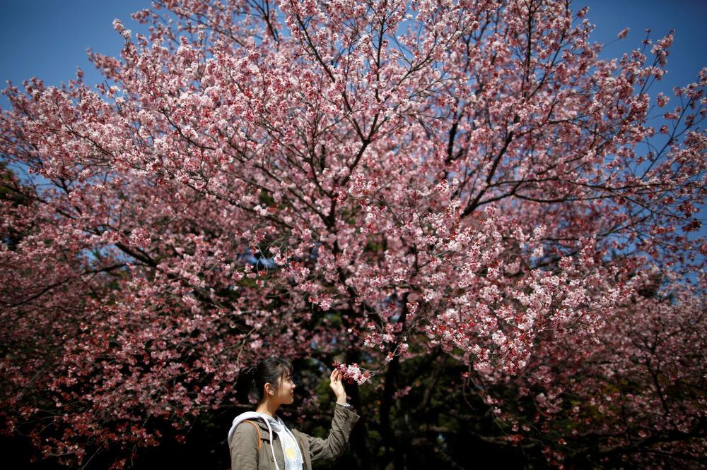 Le fioriture dei ciliegi, Tokyo.