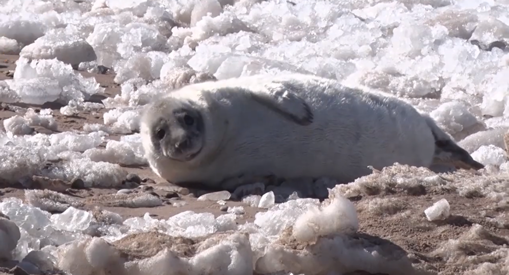 Un cucciolo di foca