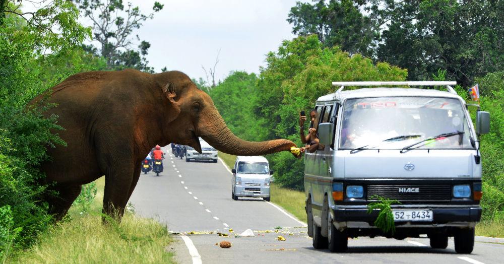 I passanti in auto danno banane a un elefante in una strada di Sri Lanka.
