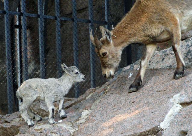 Il tur orientale neonato nello zoo di Mosca.