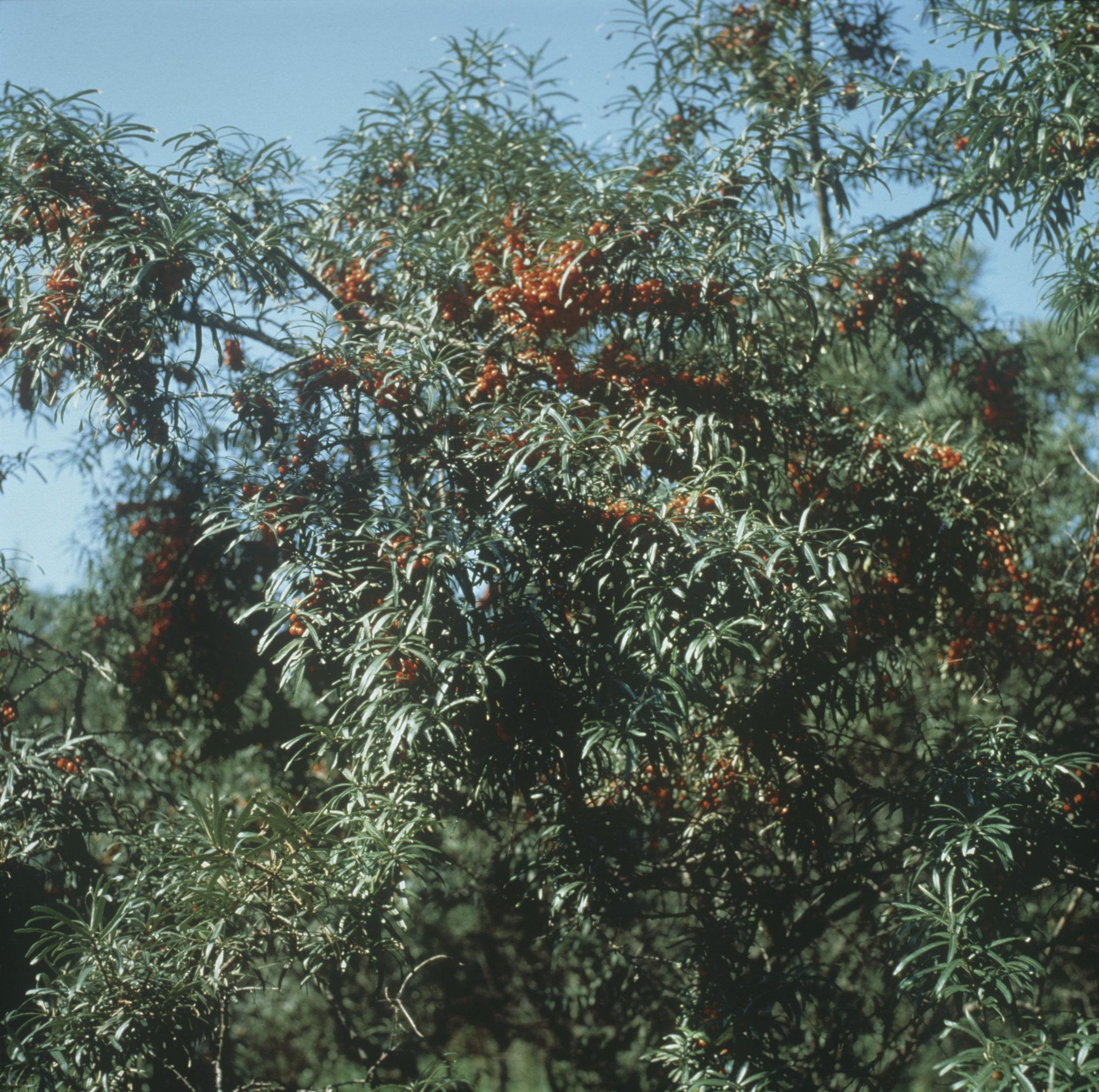 L'olivello spinoso