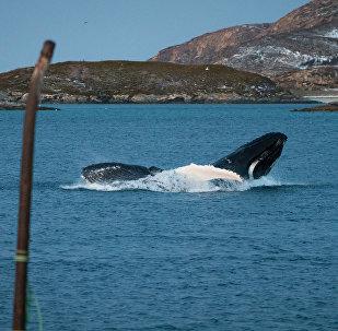 Una balena