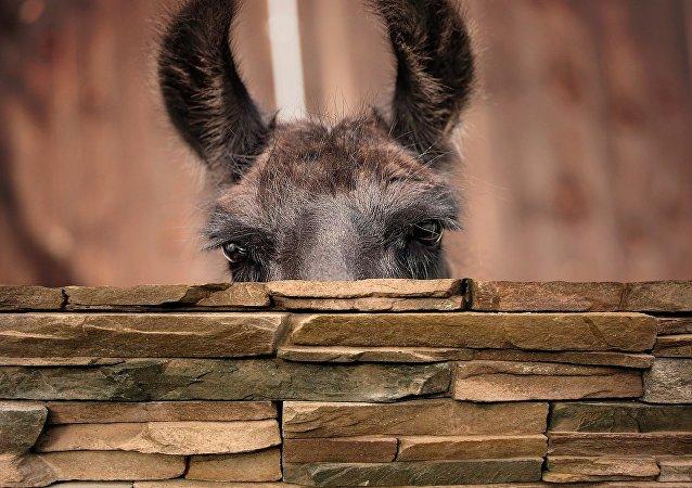 Lama che fa capolino da dietro un muretto