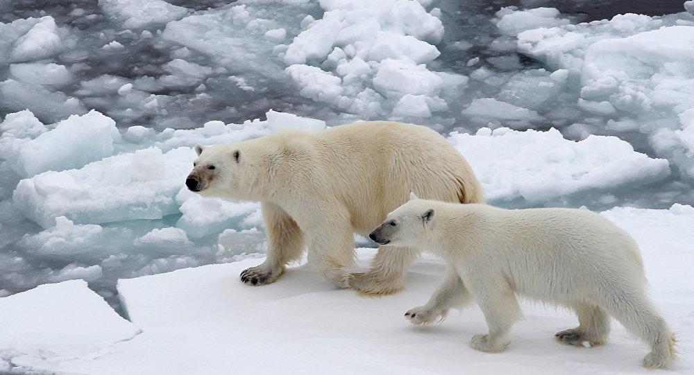 Orsi bianchi nell'Oceano glaciale artico
