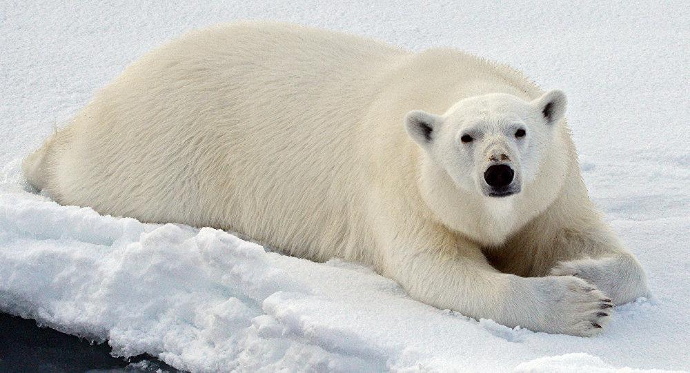Un orso bianco nel Mar glaciale artico