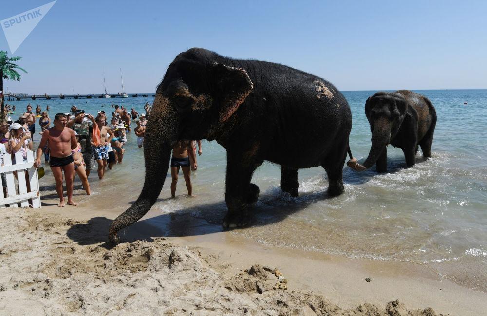 Gli elefanti Jenny e Magda, partecipanti allo show circense, ritornano sulla spiaggia dopo il bagno nel mare ad Eupatoria, Crimea.