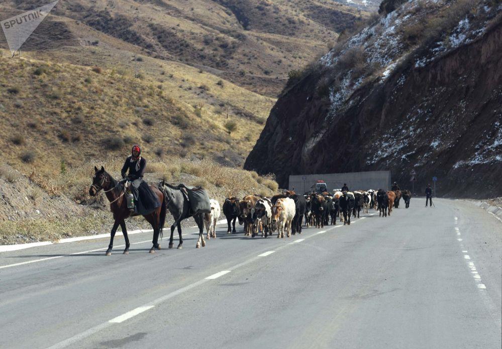 Un pastore con un gregge di mucche, Tagikistan
