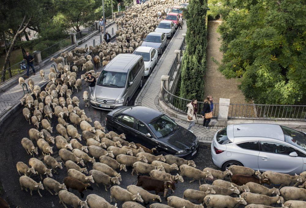 L'annuale migrazione di pecore tra Madrid, Spagna.
