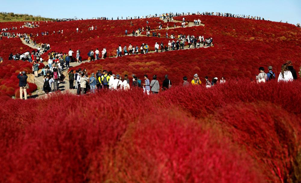 I campi d'epilobio, Giappone.