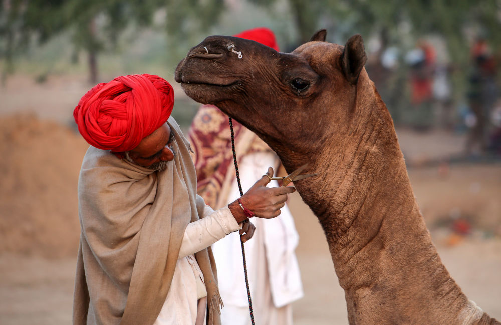 Un pastore rasa il suo camello alla fiera di camelli a Pushkar, India.