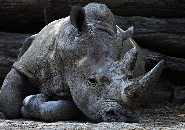 Rinoceronte vero