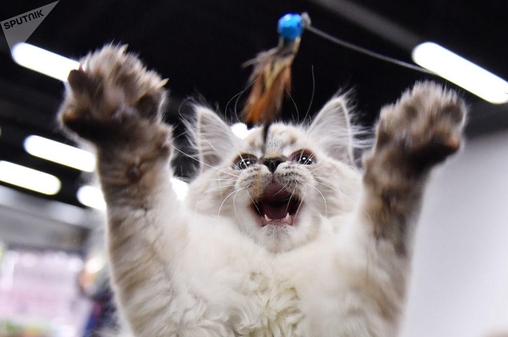 Una mostra dei gatti a Mosca.