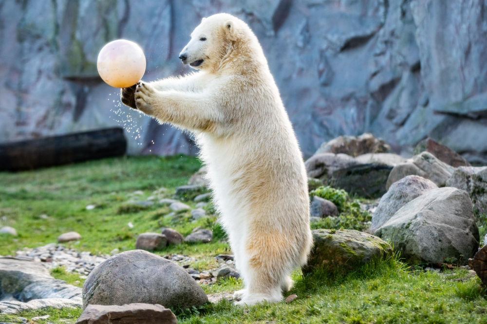 L'orso polare gioca con la palla nello zoo di Gelsenkirchen.