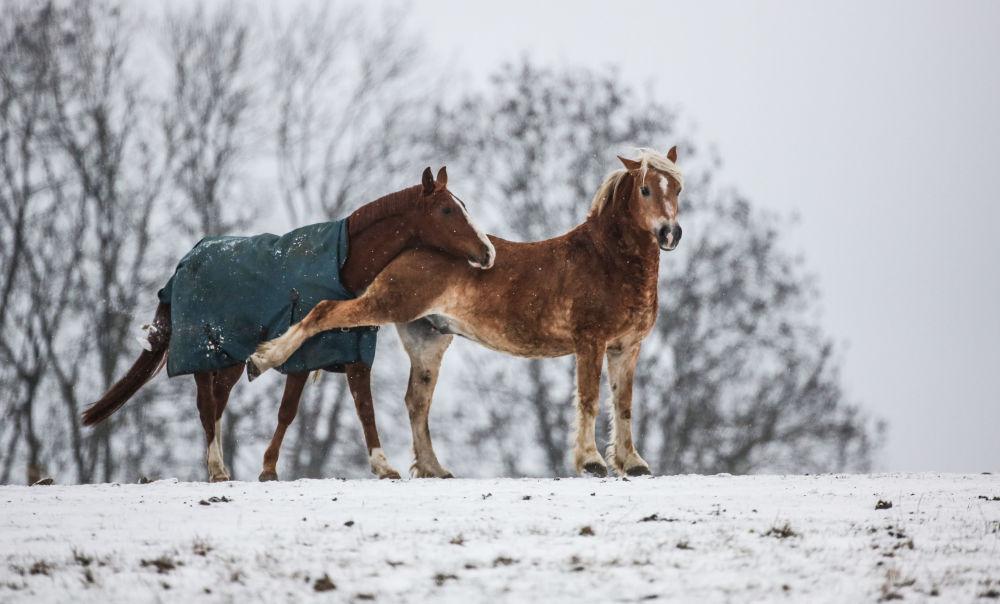 Due cavalli visti nel campo coperto della neve in Langenenslingen-Ittenhausen, Germania.