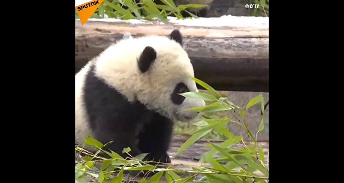 Panda gemelli