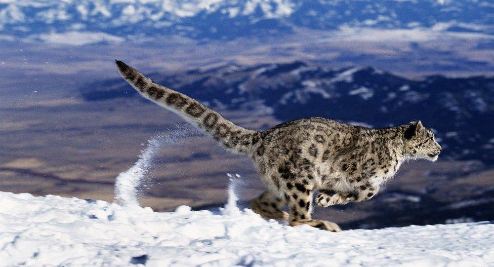 Un leopardo delle nevi