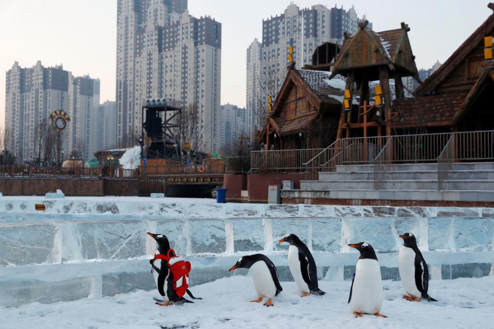 I pinguini Papua al festival internazionale della neve e del ghiaccio a Harbin, Cina.