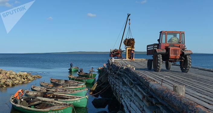 Raccolta della laminarie al porto di Rebolda sull'isola grande